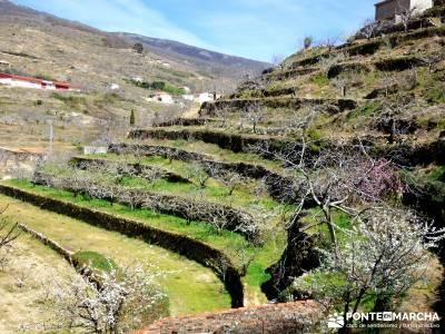 Cerezos en flor en el Valle del Jerte - Bancales cerezos - senderismo;camino de santiago